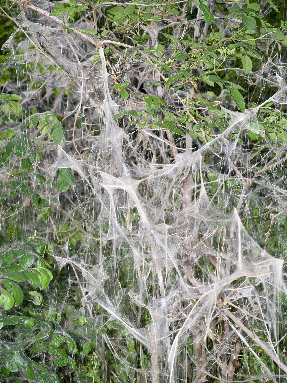 MA-Web-yponomeuta-1500px-sRGB-19