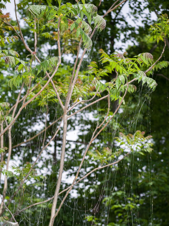MA-Web-yponomeuta-1500px-sRGB-5